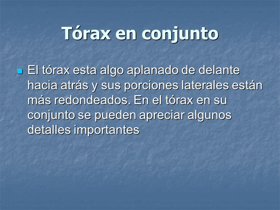 Tórax en conjunto El tórax esta algo aplanado de delante hacia atrás y sus porciones laterales están más redondeados.