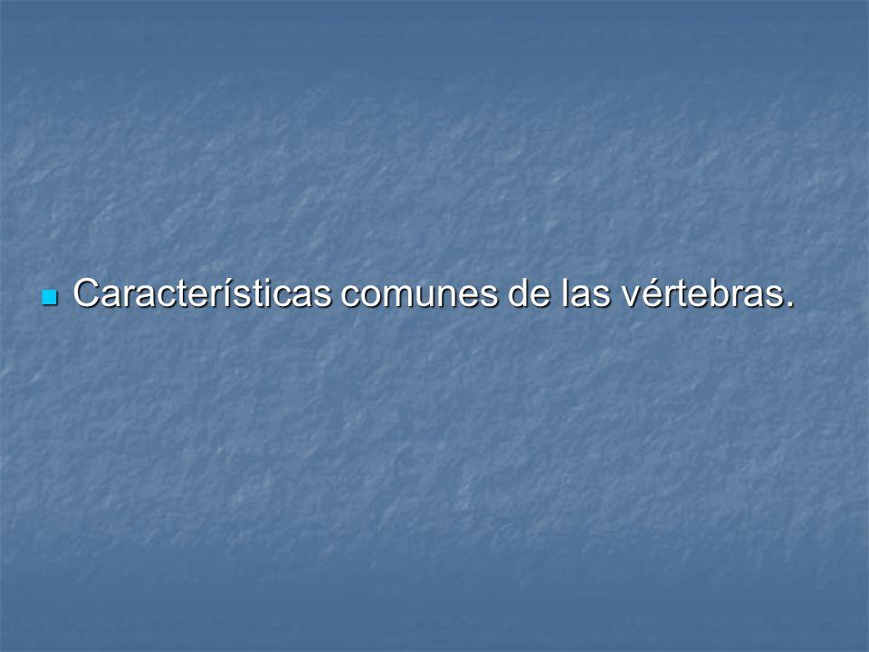 Características comunes de las vértebras. Características comunes de las vértebras.