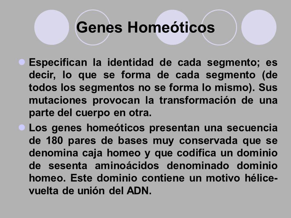 Genes Homeóticos Especifican la identidad de cada segmento; es decir, lo que se forma de cada segmento (de todos los segmentos no se forma lo mismo).