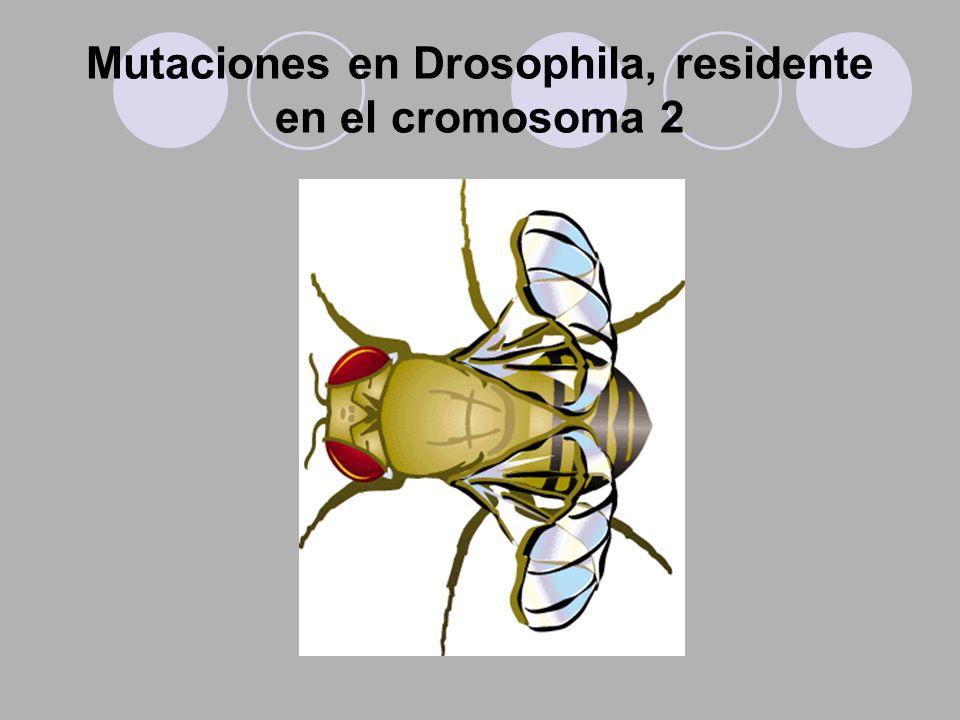 Mutaciones en Drosophila, residente en el cromosoma 2