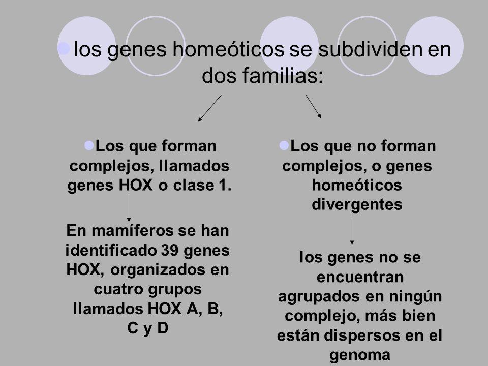 los genes homeóticos se subdividen en dos familias: Los que forman complejos, llamados genes HOX o clase 1. Los que no forman complejos, o genes homeó