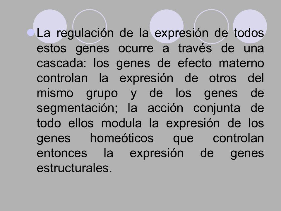 La regulación de la expresión de todos estos genes ocurre a través de una cascada: los genes de efecto materno controlan la expresión de otros del mis