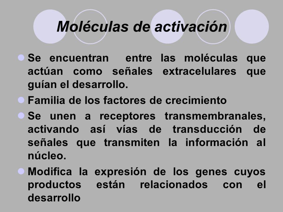 Moléculas de activación Se encuentran entre las moléculas que actúan como señales extracelulares que guían el desarrollo. Familia de los factores de c