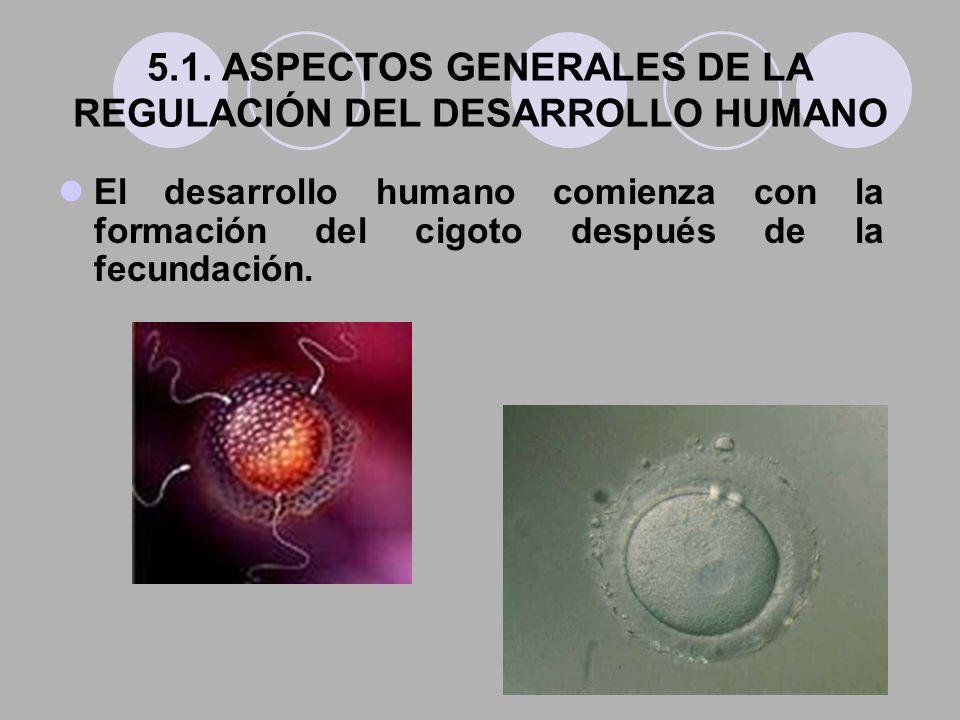 5.1. ASPECTOS GENERALES DE LA REGULACIÓN DEL DESARROLLO HUMANO El desarrollo humano comienza con la formación del cigoto después de la fecundación.