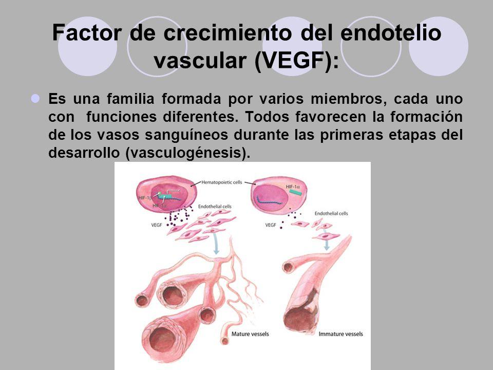 Factor de crecimiento del endotelio vascular (VEGF): Es una familia formada por varios miembros, cada uno con funciones diferentes. Todos favorecen la