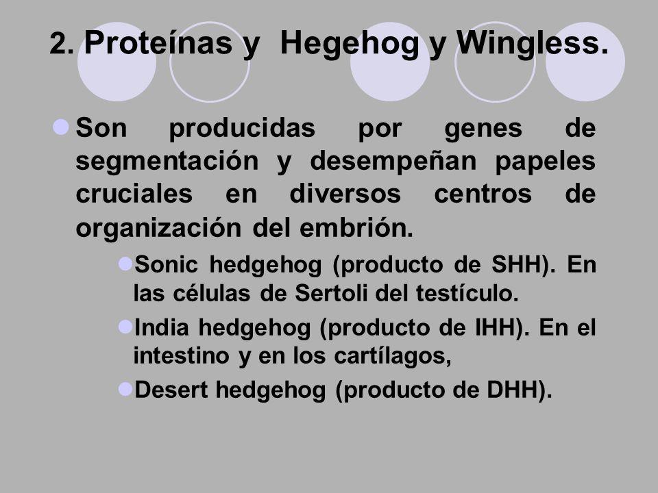 Son producidas por genes de segmentación y desempeñan papeles cruciales en diversos centros de organización del embrión. Sonic hedgehog (producto de S