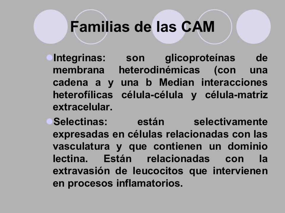 Familias de las CAM Integrinas: son glicoproteínas de membrana heterodinémicas (con una cadena a y una b Median interacciones heterofílicas célula-cél
