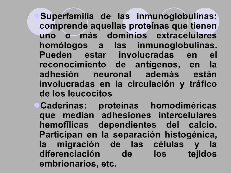 Superfamilia de las inmunoglobulinas: comprende aquellas proteínas que tienen uno o más dominios extracelulares homólogos a las inmunoglobulinas. Pued