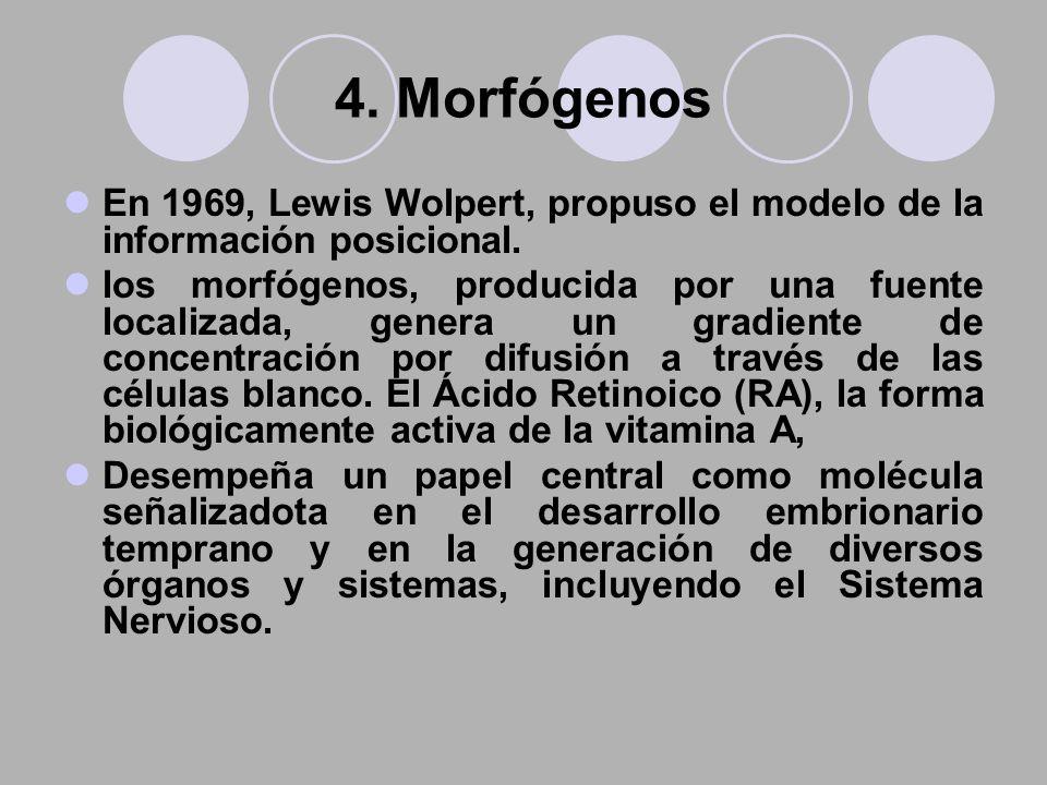 4. Morfógenos En 1969, Lewis Wolpert, propuso el modelo de la información posicional. los morfógenos, producida por una fuente localizada, genera un g