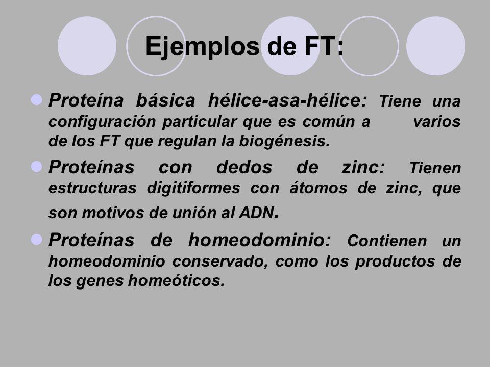 Ejemplos de FT: Proteína básica hélice-asa-hélice: Tiene una configuración particular que es común a varios de los FT que regulan la biogénesis. Prote