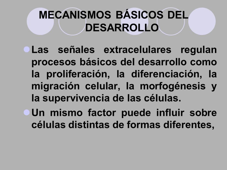 MECANISMOS BÁSICOS DEL DESARROLLO Las señales extracelulares regulan procesos básicos del desarrollo como la proliferación, la diferenciación, la migr