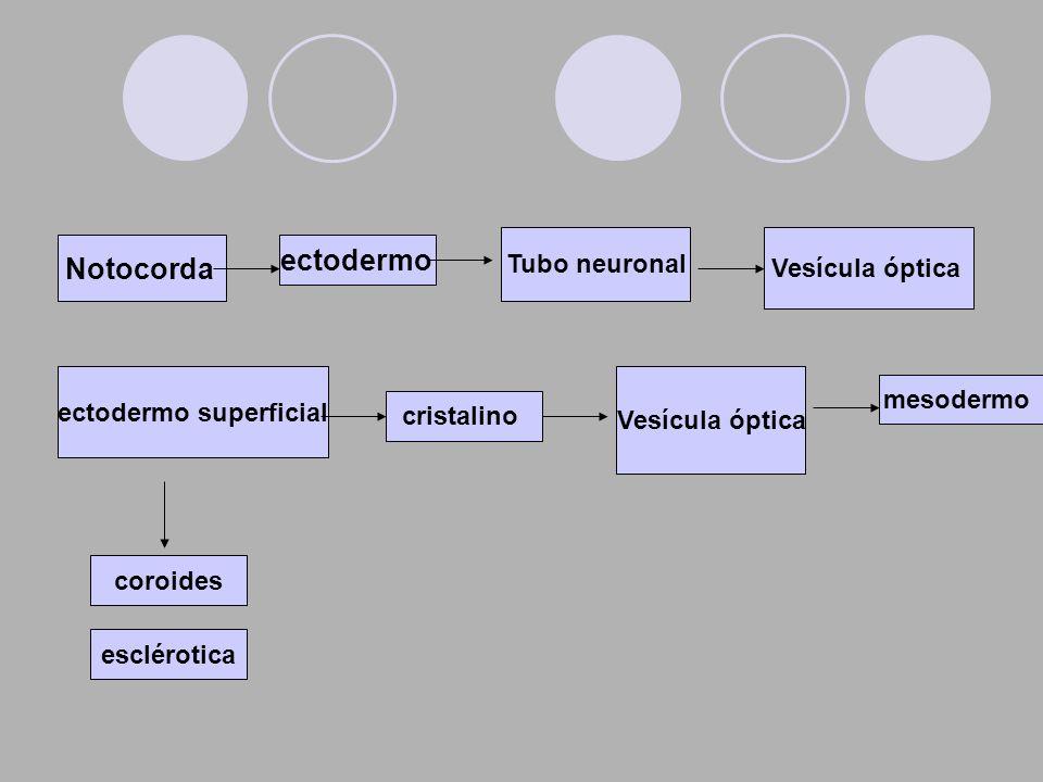 Notocorda ectodermo Tubo neuronal Vesícula óptica ectodermo superficial cristalino mesodermo Vesícula óptica coroides esclérotica