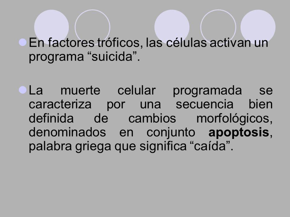 En factores tróficos, las células activan un programa suicida. La muerte celular programada se caracteriza por una secuencia bien definida de cambios