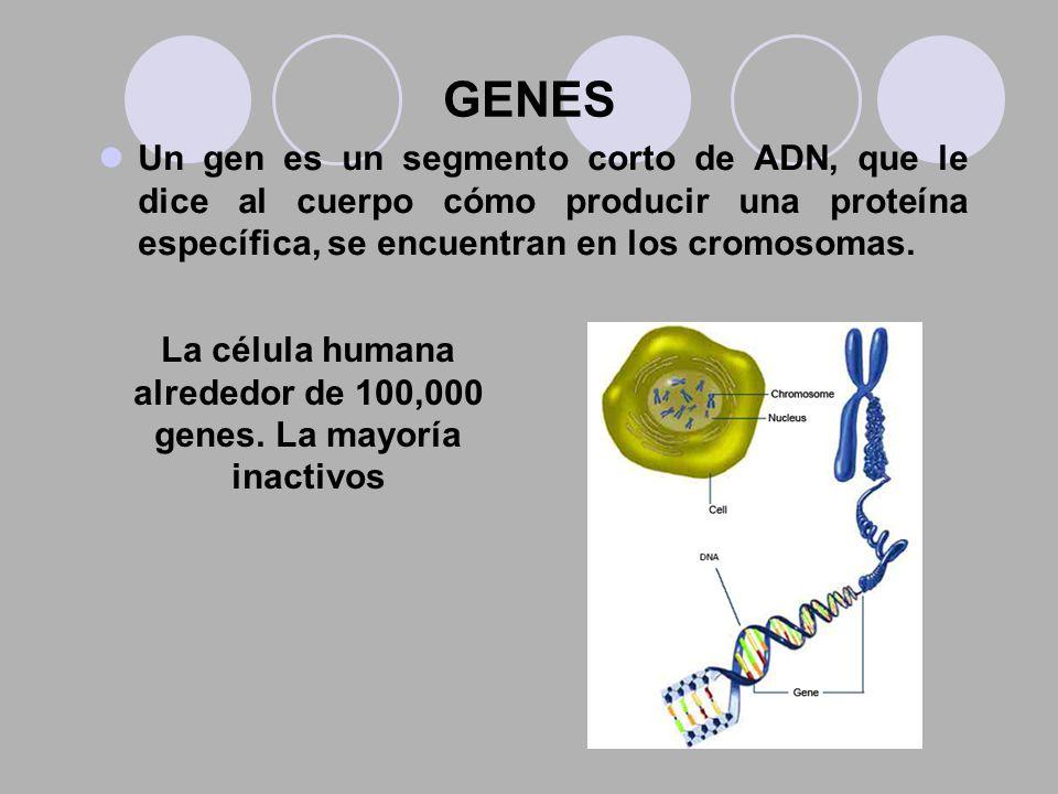 GENES Un gen es un segmento corto de ADN, que le dice al cuerpo cómo producir una proteína específica, se encuentran en los cromosomas. La célula huma