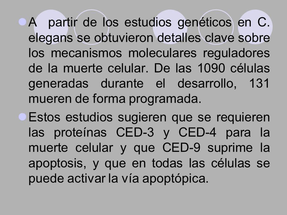 A partir de los estudios genéticos en C. elegans se obtuvieron detalles clave sobre los mecanismos moleculares reguladores de la muerte celular. De la