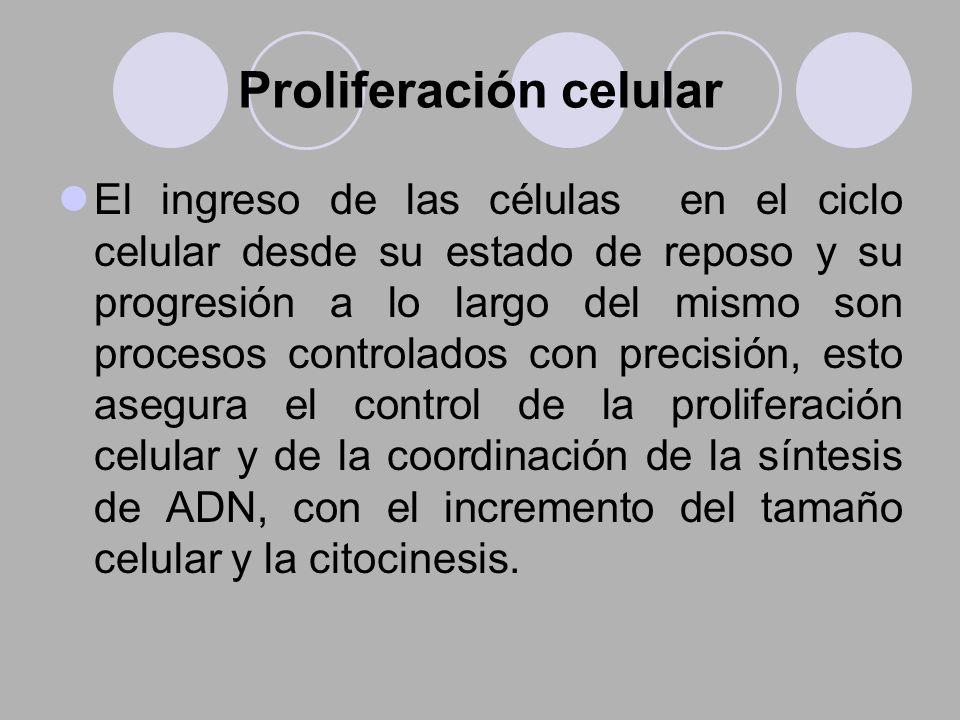 Proliferación celular El ingreso de las células en el ciclo celular desde su estado de reposo y su progresión a lo largo del mismo son procesos contro