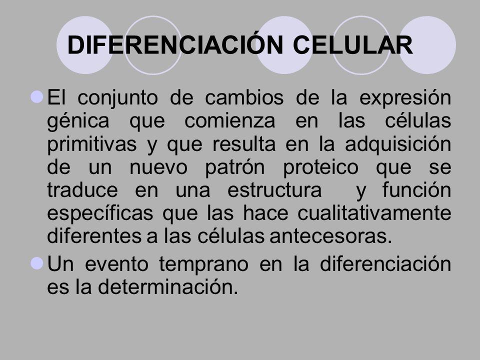DIFERENCIACIÓN CELULAR El conjunto de cambios de la expresión génica que comienza en las células primitivas y que resulta en la adquisición de un nuev