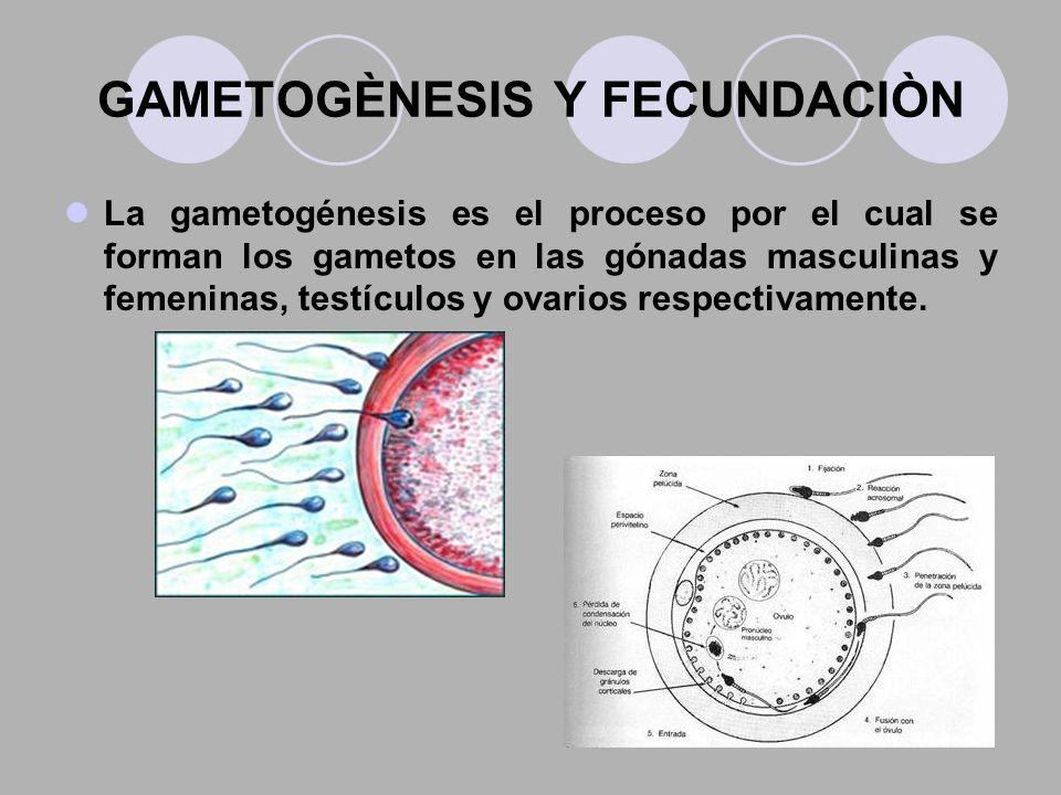 GAMETOGÈNESIS Y FECUNDACIÒN La gametogénesis es el proceso por el cual se forman los gametos en las gónadas masculinas y femeninas, testículos y ovari
