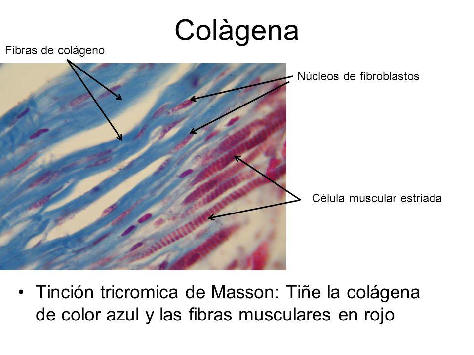 Colàgena Tinción tricromica de Masson: Tiñe la colágena de color azul y las fibras musculares en rojo Fibras de colágeno Núcleos de fibroblastos Célula muscular estriada