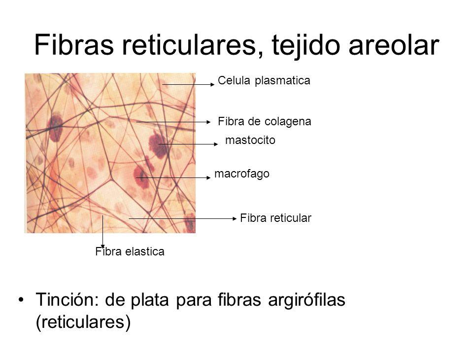Fibras reticulares, tejido areolar Tinción: de plata para fibras argirófilas (reticulares) macrofago mastocito Fibra de colagena Celula plasmatica Fibra elastica Fibra reticular