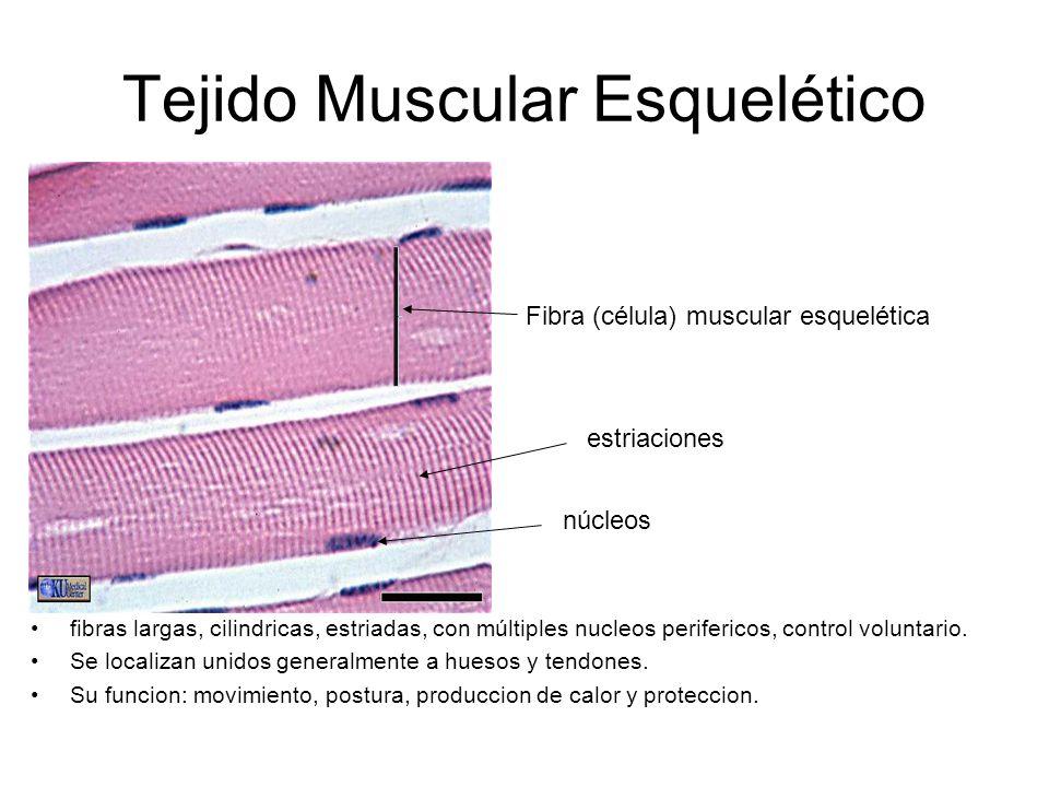 Tejido Muscular Esquelético fibras largas, cilindricas, estriadas, con múltiples nucleos perifericos, control voluntario.
