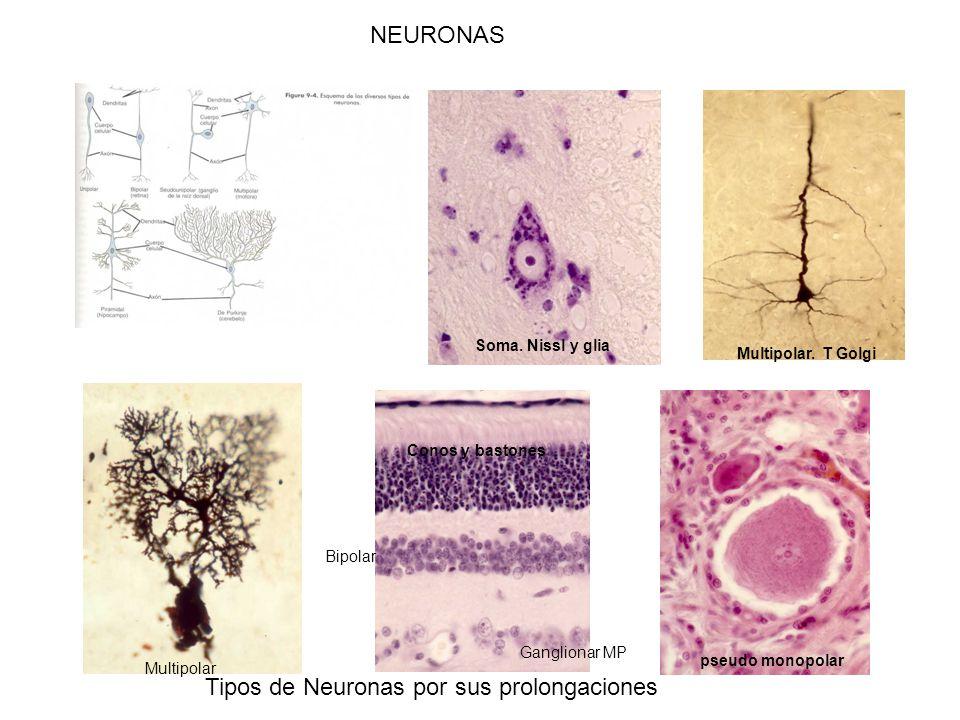 Tipos de Neuronas por sus prolongaciones Multipolar Bipolar pseudo monopolar Soma.