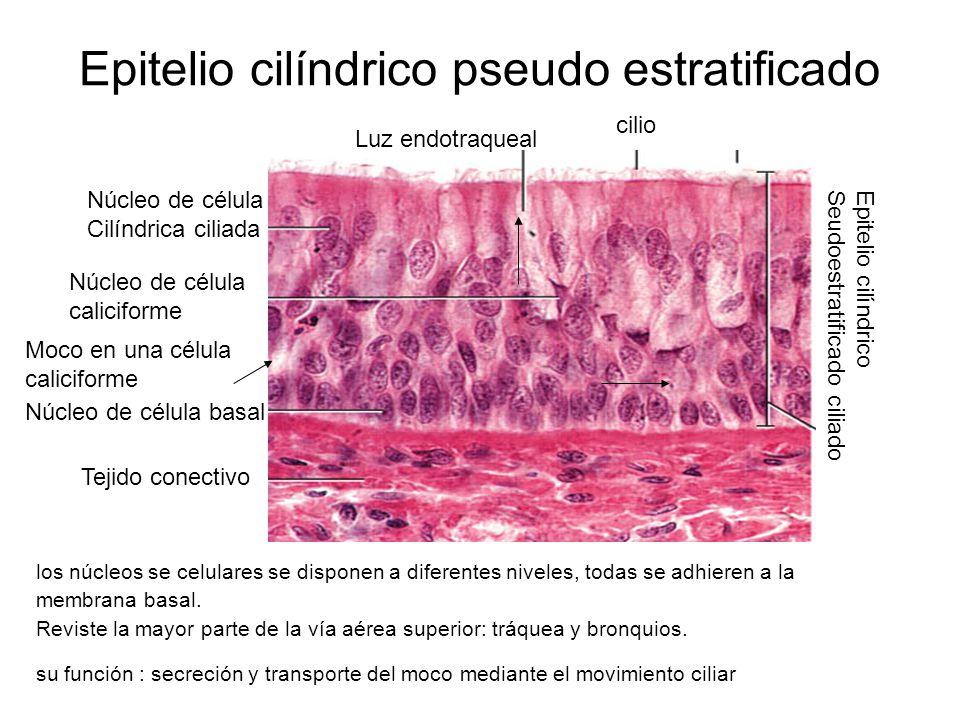 Epitelio cilíndrico pseudo estratificado los núcleos se celulares se disponen a diferentes niveles, todas se adhieren a la membrana basal.