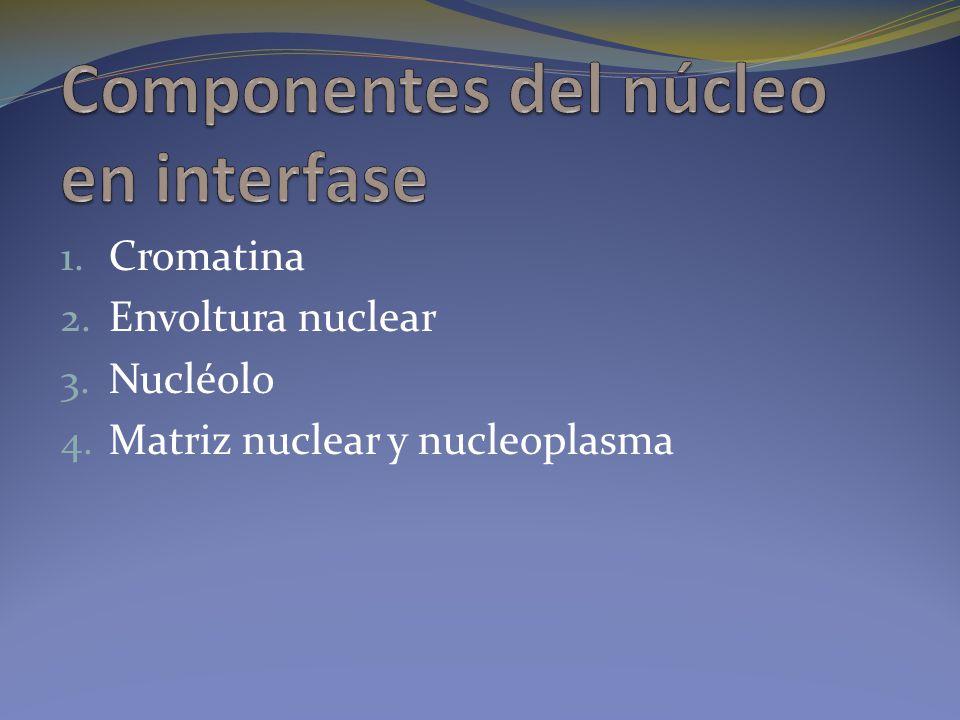1. Cromatina 2. Envoltura nuclear 3. Nucléolo 4. Matriz nuclear y nucleoplasma