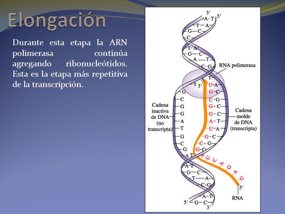 Durante esta etapa la ARN polimerasa continúa agregando ribonucleótidos. Esta es la etapa más repetitiva de la transcripción.