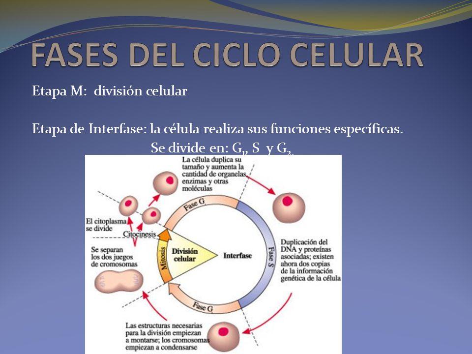 Etapa M: división celular Etapa de Interfase: la célula realiza sus funciones específicas. Se divide en: G 1, S y G 2.