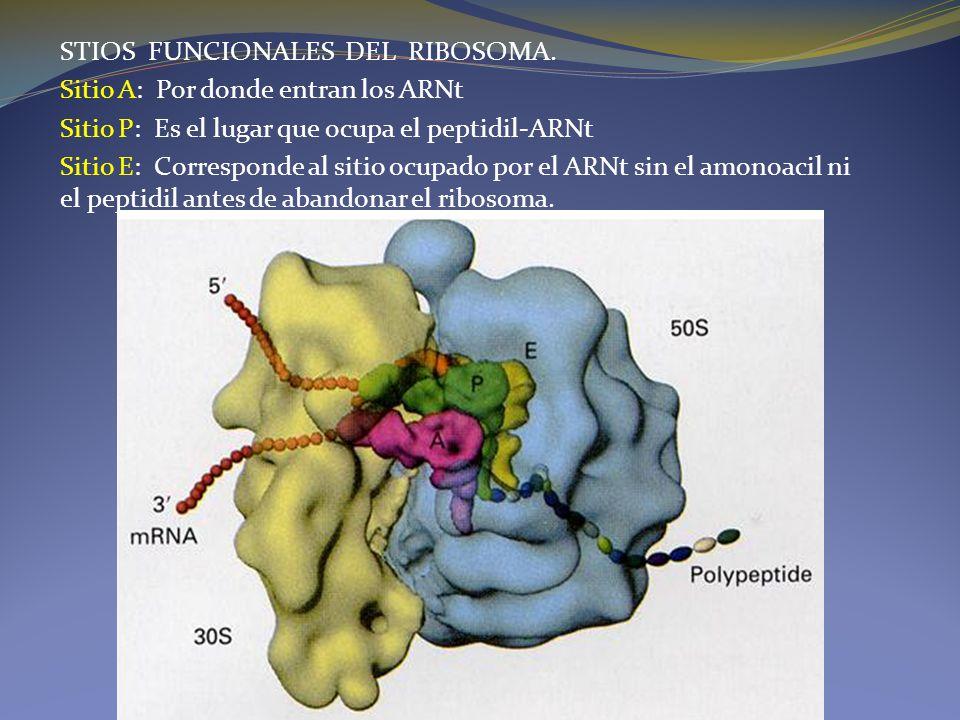 STIOS FUNCIONALES DEL RIBOSOMA. Sitio A: Por donde entran los ARNt Sitio P: Es el lugar que ocupa el peptidil-ARNt Sitio E: Corresponde al sitio ocupa