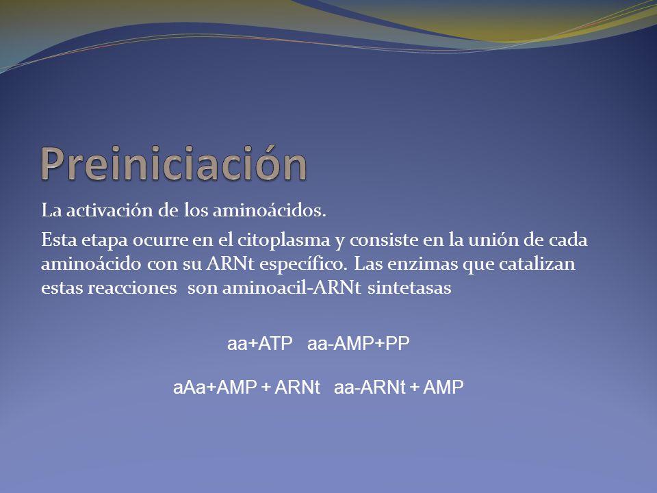 La activación de los aminoácidos. Esta etapa ocurre en el citoplasma y consiste en la unión de cada aminoácido con su ARNt específico. Las enzimas que