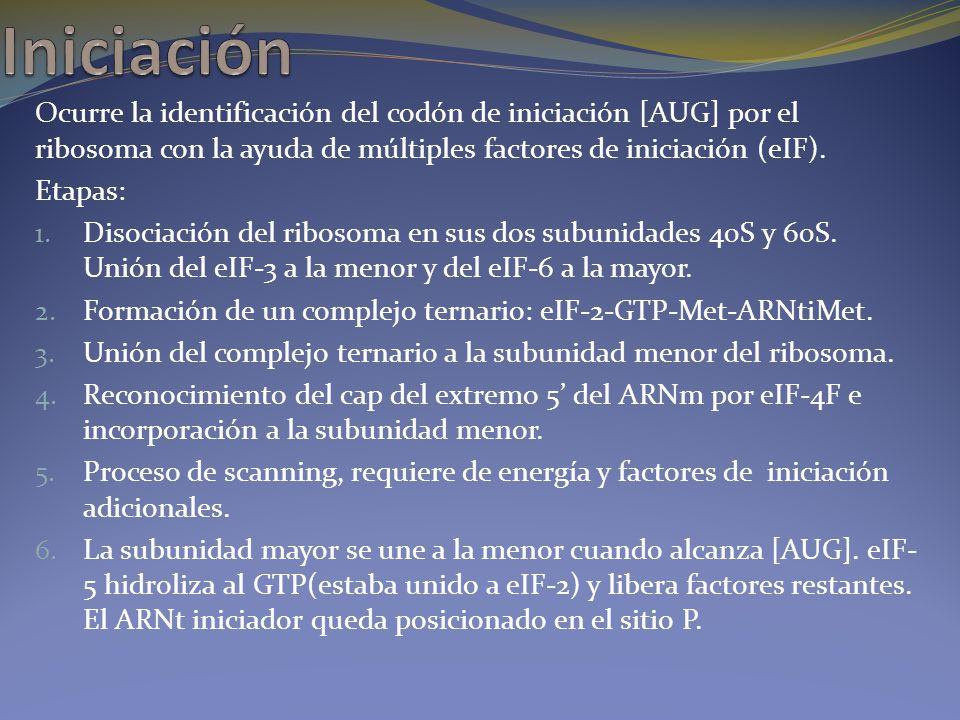 Ocurre la identificación del codón de iniciación [AUG] por el ribosoma con la ayuda de múltiples factores de iniciación (eIF). Etapas: 1. Disociación