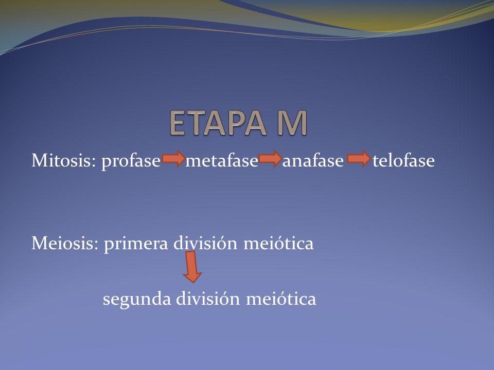 Mitosis: profase metafase anafase telofase Meiosis: primera división meiótica segunda división meiótica