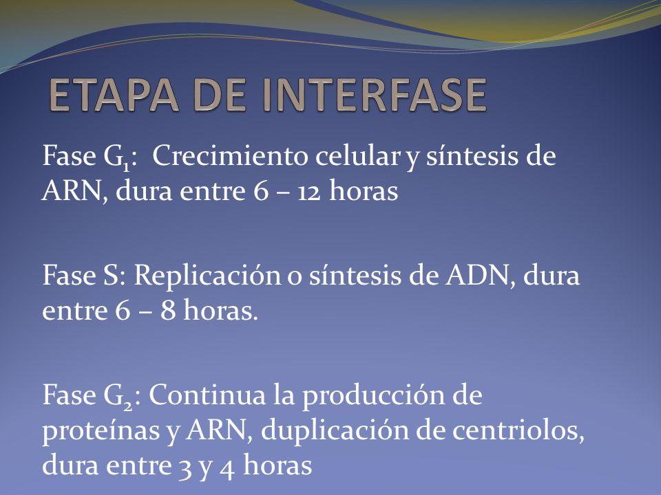 Fase G 1 : Crecimiento celular y síntesis de ARN, dura entre 6 – 12 horas Fase S: Replicación o síntesis de ADN, dura entre 6 – 8 horas. Fase G 2 : Co