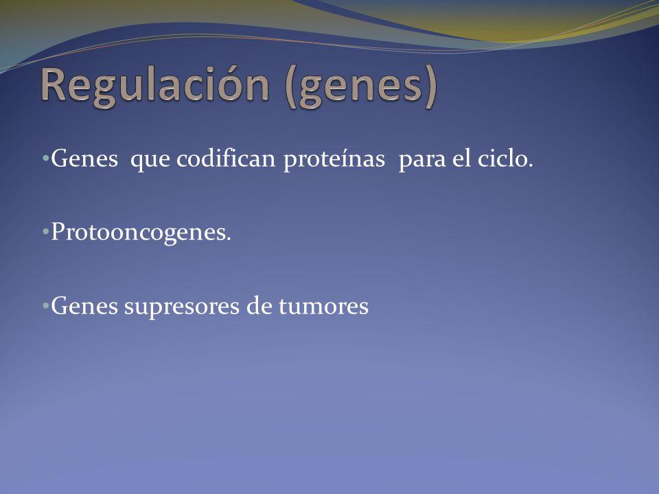 Genes que codifican proteínas para el ciclo. Protooncogenes. Genes supresores de tumores