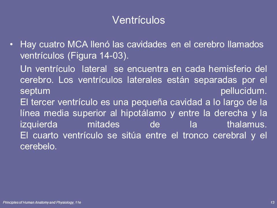 Principles of Human Anatomy and Physiology, 11e13 Ventrículos Hay cuatro MCA llenó las cavidades en el cerebro llamados ventrículos (Figura 14-03). Un