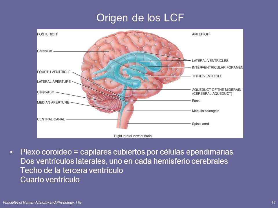 Principles of Human Anatomy and Physiology, 11e14 Origen de los LCF Plexo coroideo = capilares cubiertos por células ependimarias Dos ventrículos late