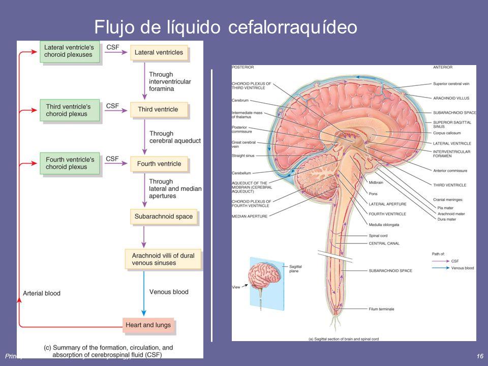 Principles of Human Anatomy and Physiology, 11e16 Flujo de líquido cefalorraquídeo