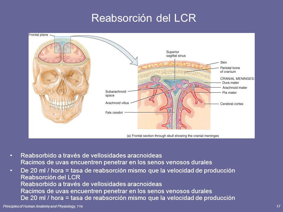 Principles of Human Anatomy and Physiology, 11e17 Reabsorción del LCR Reabsorbido a través de vellosidades aracnoideas Racimos de uvas encuentren pene