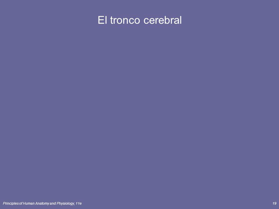 Principles of Human Anatomy and Physiology, 11e19 El tronco cerebral