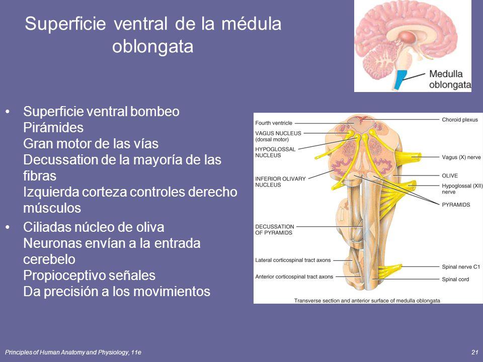 Principles of Human Anatomy and Physiology, 11e21 Superficie ventral de la médula oblongata Superficie ventral bombeo Pirámides Gran motor de las vías