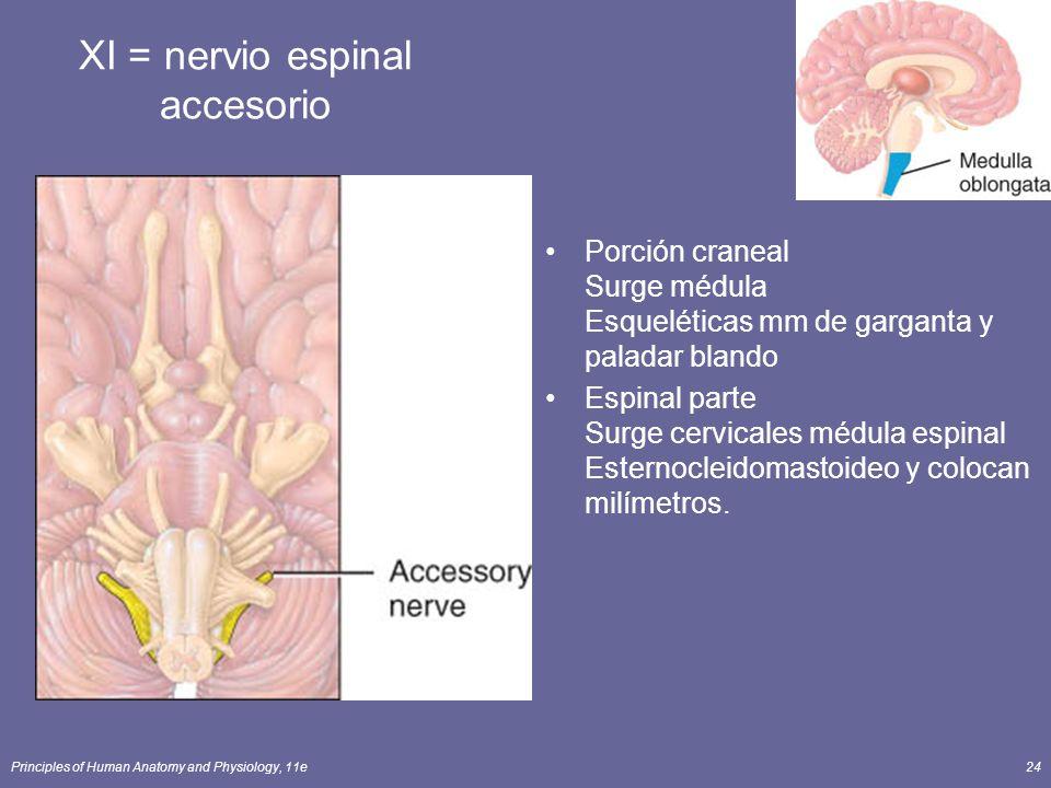 Principles of Human Anatomy and Physiology, 11e24 XI = nervio espinal accesorio Porción craneal Surge médula Esqueléticas mm de garganta y paladar bla