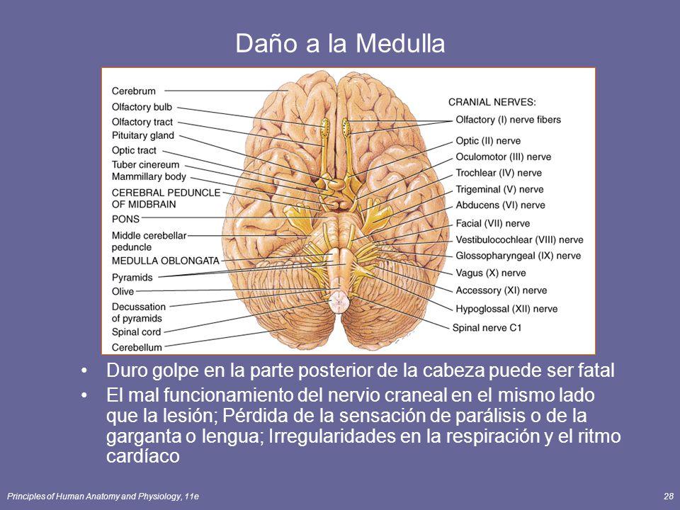 Principles of Human Anatomy and Physiology, 11e28 Daño a la Medulla Duro golpe en la parte posterior de la cabeza puede ser fatal El mal funcionamient