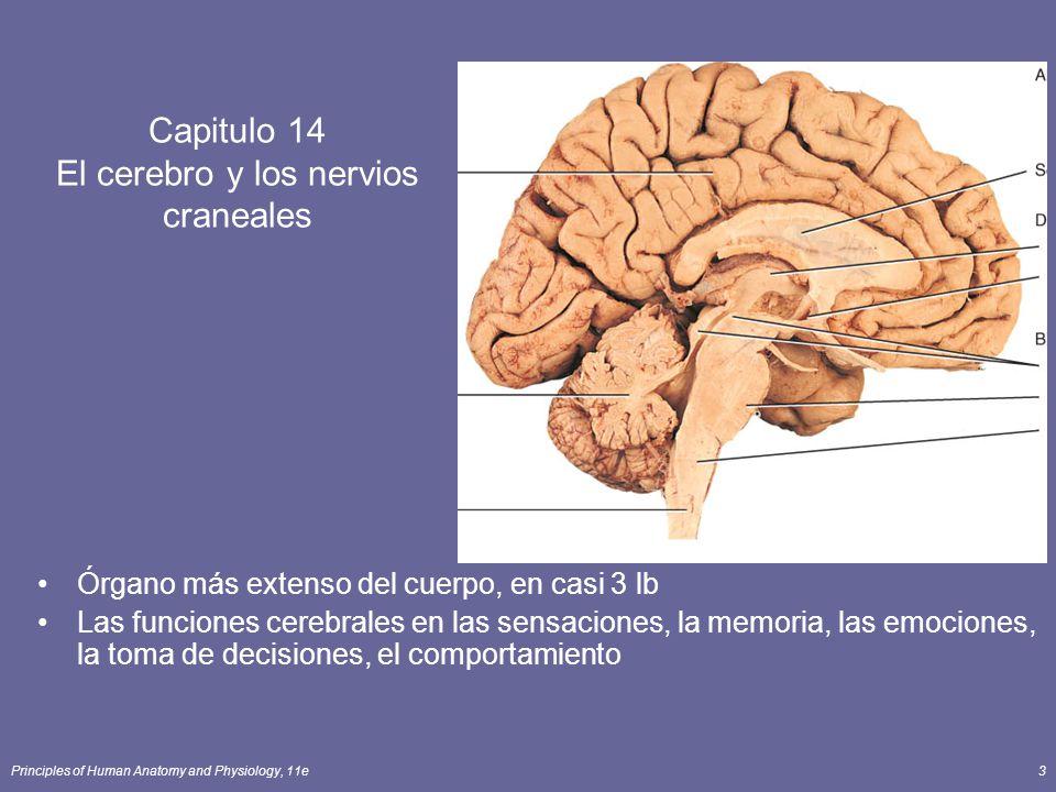 Principles of Human Anatomy and Physiology, 11e3 Capitulo 14 El cerebro y los nervios craneales Órgano más extenso del cuerpo, en casi 3 lb Las funcio