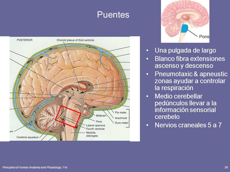 Principles of Human Anatomy and Physiology, 11e30 Puentes Una pulgada de largo Blanco fibra extensiones ascenso y descenso Pneumotaxic & apneustic zon