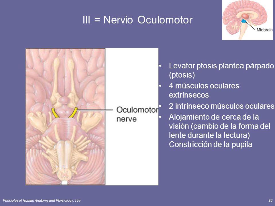 Principles of Human Anatomy and Physiology, 11e38 III = Nervio Oculomotor Levator ptosis plantea párpado (ptosis) 4 músculos oculares extrínsecos 2 in