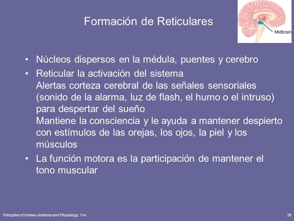 Principles of Human Anatomy and Physiology, 11e39 Formación de Reticulares Núcleos dispersos en la médula, puentes y cerebro Reticular la activación d