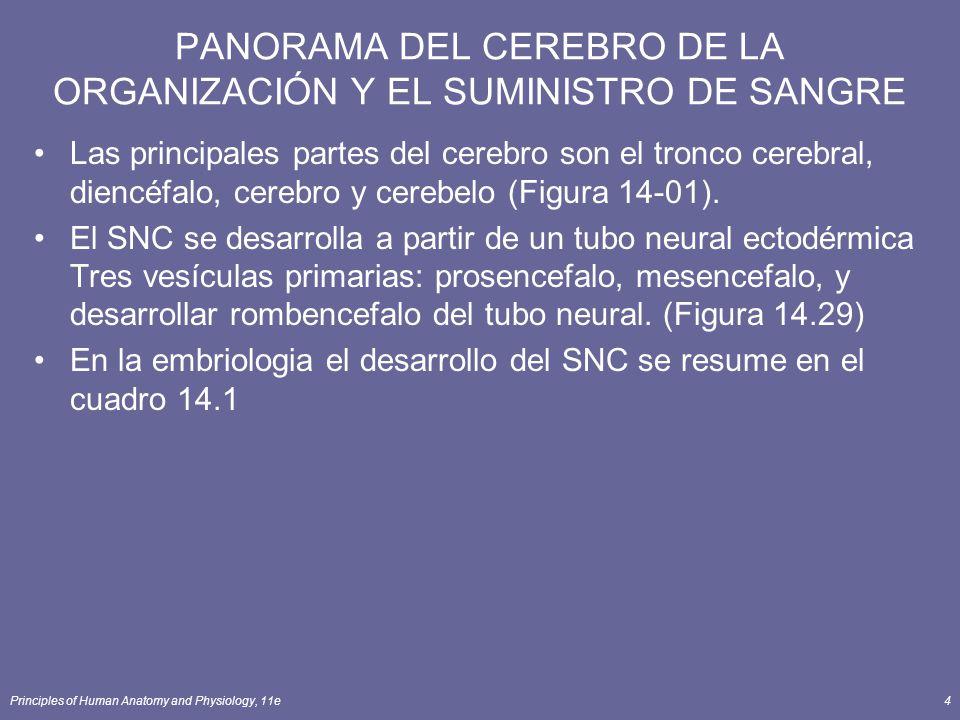 Principles of Human Anatomy and Physiology, 11e4 PANORAMA DEL CEREBRO DE LA ORGANIZACIÓN Y EL SUMINISTRO DE SANGRE Las principales partes del cerebro