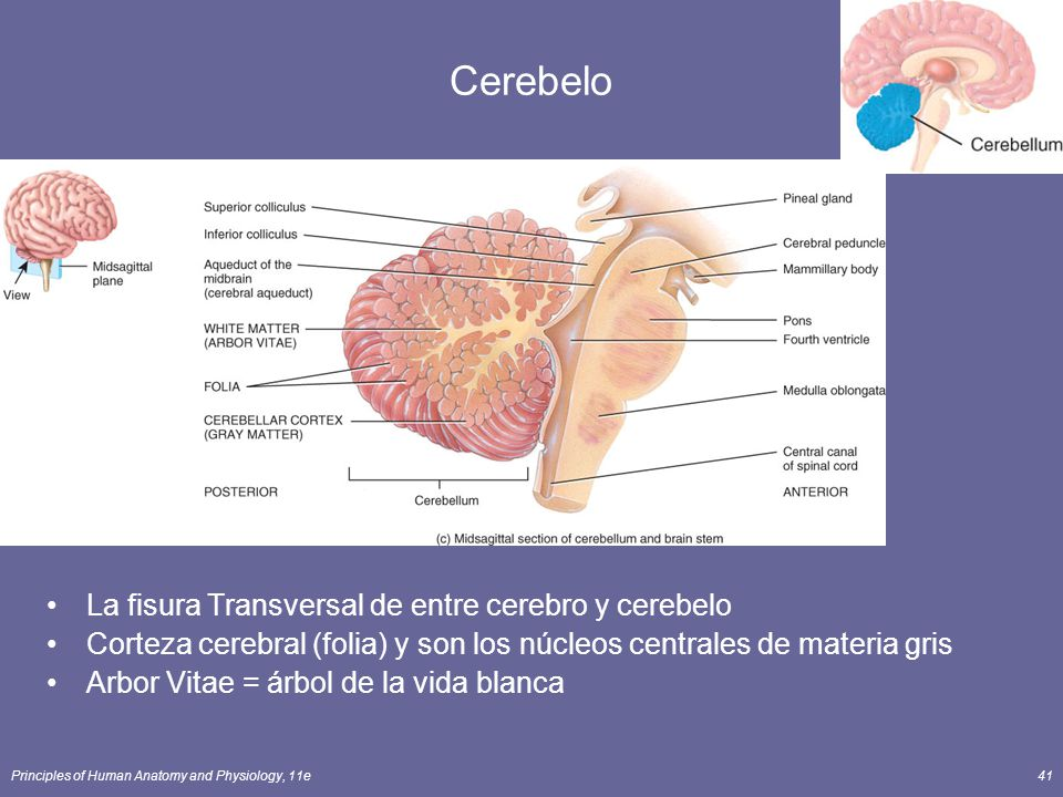 Principles of Human Anatomy and Physiology, 11e41 Cerebelo La fisura Transversal de entre cerebro y cerebelo Corteza cerebral (folia) y son los núcleo